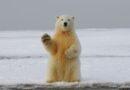 Beli medvedi bi mogli da izumru do kraja veka zbog klimatskih promena